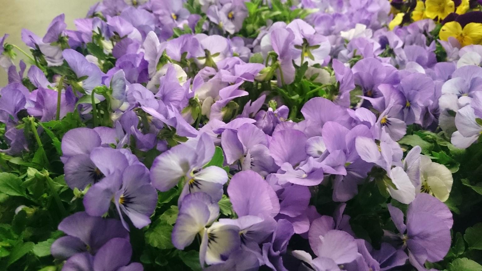 Kwiaty doniczkowe i rabatowe